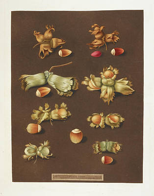 Pomona Photograph - Hazelnuts by British Library