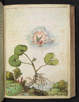 Religious Artist Photograph - Hazelwort (asarum Europaeum) by British Library