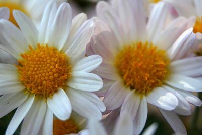 Photograph - Hazy Day Daisies  by Tracey Harrington-Simpson