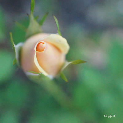 Photograph - Hazy Rosebud Squared by TK Goforth