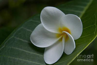 Photograph - He Aloha No O Waianapanapa - White Tropical Plumeria - Maui Hawaii by Sharon Mau