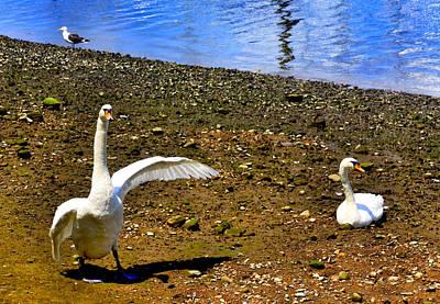 Swans Photograph - He Did It by Aurelio Zucco