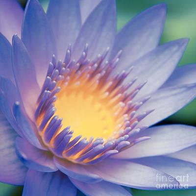 He Makana Nau Ke Aloha - Nymphaea Stellata - Star Lotus Art Print