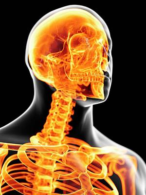 Human Head Photograph - Head And Neck Bones by Sciepro