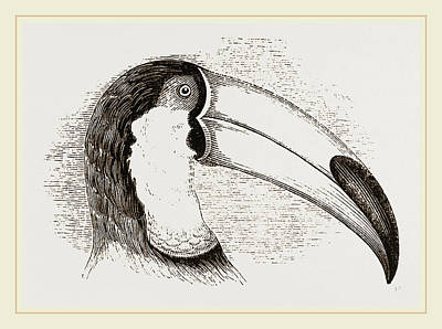 Toucan Drawing - Head And Tongue Of Toucan by Litz Collection