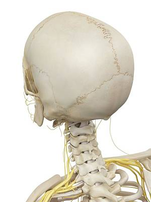 Human Head Photograph - Head Bones And Nerves by Sciepro