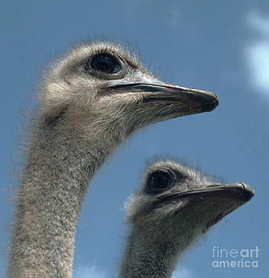 Head Of A Female Ostrich Art Print