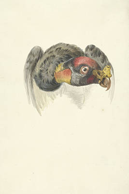 Condor Drawing - Head Of A King Vulture Or Condor Gypagus Papa by Quint Lox