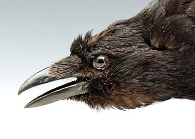 Crow Photograph - Head Of A Stuffed Carrion Crow by Ucl, Grant Museum Of Zoology
