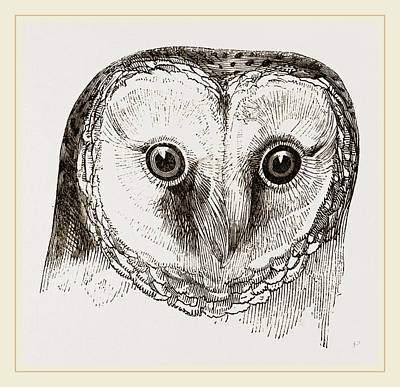 Barn Owl Drawing - Head Of Barn Owl by Litz Collection
