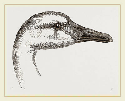 Head Of Bewicks Swan Art Print by Litz Collection