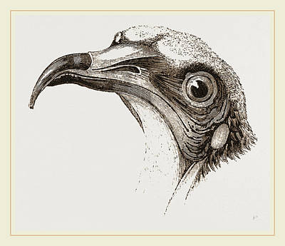 Vulture Drawing - Head Of Egyptian Vulture by Litz Collection