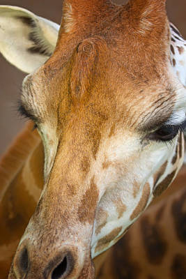 Mellow Yellow Rights Managed Images - Head of Giraffe Royalty-Free Image by Jaroslav Frank