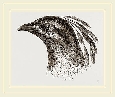 Pheasant Drawing - Head Of Impeyan Pheasant by Litz Collection
