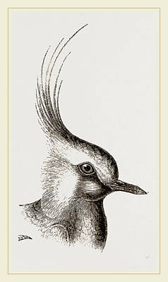 Lapwing Drawing - Head Of Lapwing by Litz Collection