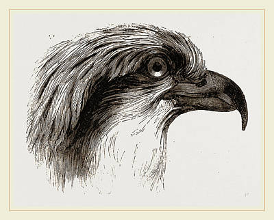 Osprey Drawing - Head  Of Osprey by Litz Collection