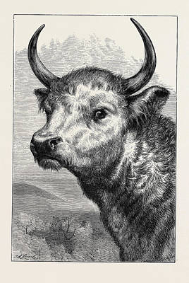 Head Shot Drawing - Head Of The Chillingham Wild Bull by English School