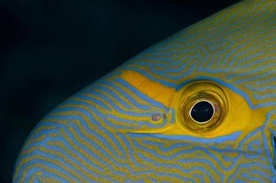Head Pattern Of Eyestripe Surgeonfish Art Print