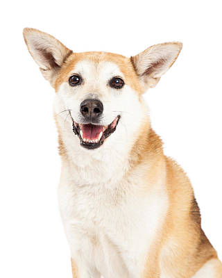 Cattle Dog Photograph - Head Shot Of  Australian Cattle And Shiba Inu  Mix Dog by Susan Schmitz