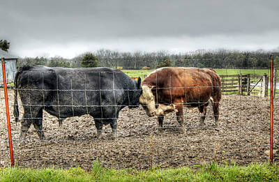 Red Angus Cow Photograph - Head To Head by Cricket Hackmann
