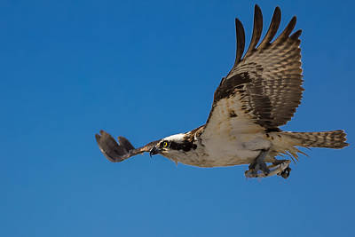 Soaring Hawk Photograph - Heading Home by Kathleen Bishop
