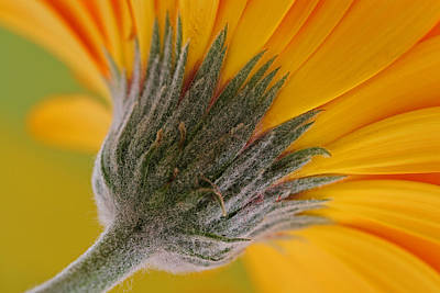 Gerber Daisy Photograph - Heads Up by Juergen Roth