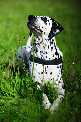 Photograph - Heads Up. Kokkie. Dalmation Dog by Jenny Rainbow