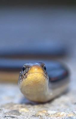 Photograph - Heads Up Snake by Jeff at JSJ Photography