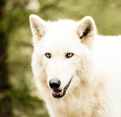 Photograph - Headshot Of A White Wolf by MaryJane Armstrong