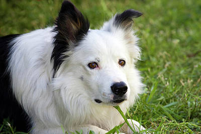 Herding Dog Photograph - Headshot Of Purebred Border Collie by Piperanne Worcester