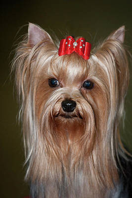 Headshot Of Show Yorkshire Terrier Art Print by Piperanne Worcester