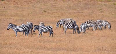 Hearst Castle Zebras Art Print by Lynn Bauer