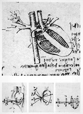 Organ Photograph - Heart Anatomy by