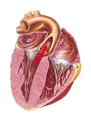 Heart Anatomy, Artwork Art Print