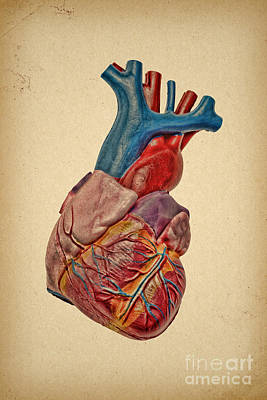 Photograph - Heart Anatomy by Olga Hamilton