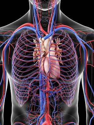 Heart And Blood Vessels Art Print by Sciepro