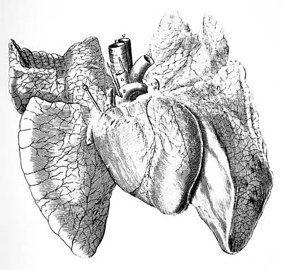 Organ Photograph - Heart And Lung Anatomy by