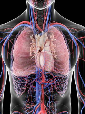 Internal Organs Photograph - Heart And Lungs by Sciepro