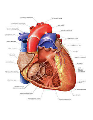Heart And Right Ventricle Art Print by Asklepios Medical Atlas