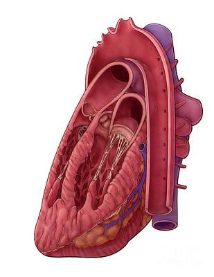 Heart Cross Section, Illustration Art Print