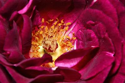 Photograph - Heart O' The Rose by Mike Farslow