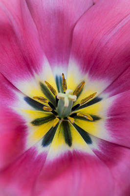 Crazing Photograph - Heart Of Pink Tulip. The Tulips Of Holland by Jenny Rainbow