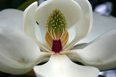 Art Print featuring the photograph Heart Of The Magnolia by Andy Lawless