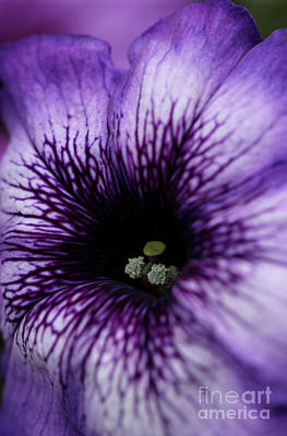 Photograph - Heart Of The Purple Petunia by Sarah Schroder