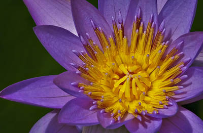 Waterlily Photograph - Heart On Fire by Susan Candelario