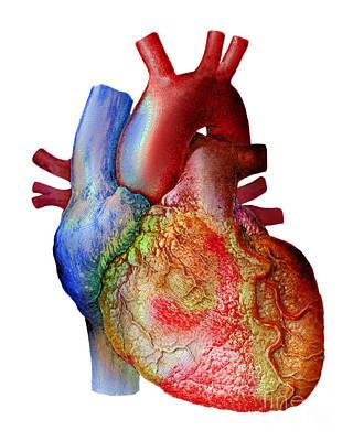 Photograph - Heart by Scott Camazine