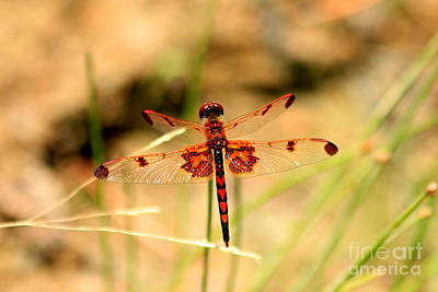 Photograph - Red Hearts Dragonfly by Reid Callaway