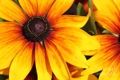 Photograph - Black Eyed Susan by Cathy  Beharriell