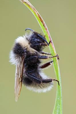 Hymenopteran Insect Photograph - Heath Bumblebee by Heath Mcdonald