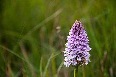 Photograph - Heath Spotted Orchid by Rob Hemphill